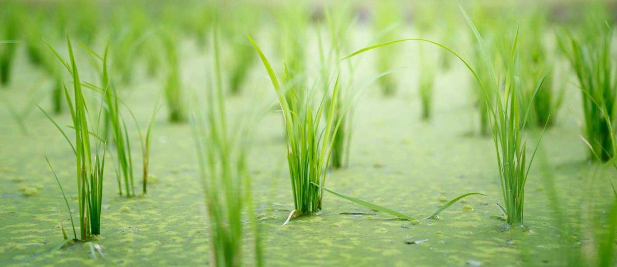 La cera de arroz: experimentando con ceras veganas