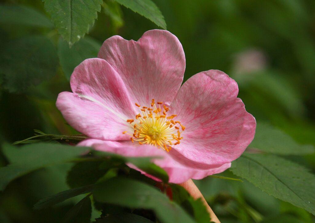 rosa-mosqueta-caracteristicas